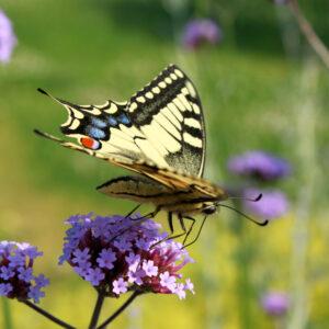verrassende vlinder